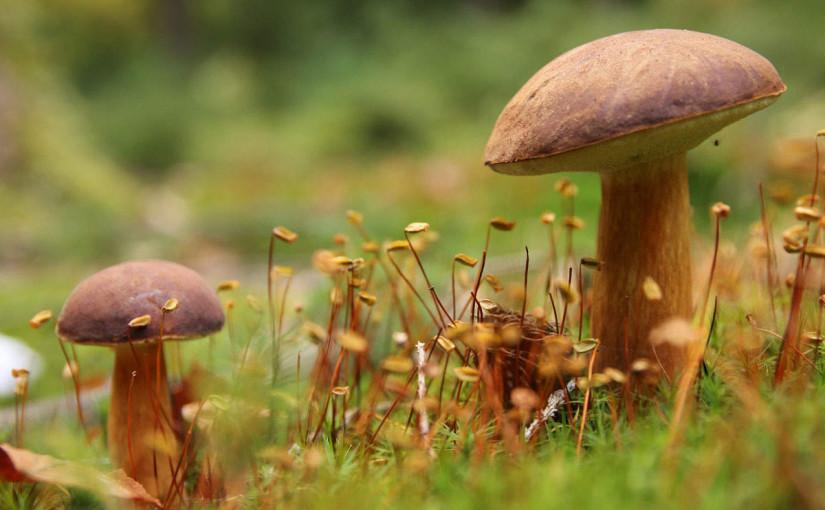 houby MS